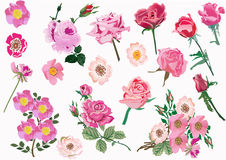 Set of pink brier and rose flowers. Illustration with brier and rose flowers isolated on white background Royalty Free Stock Photo