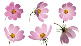Set of pink cosmoses Stock Photo
