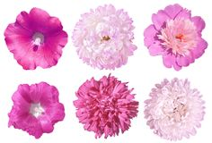Set of pink flowers. peony, asters, mallow isolated on white background. Head of flowers. On white background Stock Photos