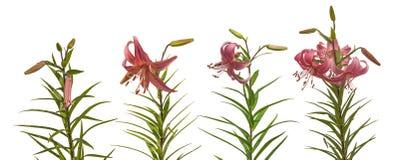 Set of  pink lilium Asian hybrids 'Rozovaja Dymka' Stock Photography