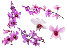 Set of pink orchid flowers with purple centers Royalty Free Stock Photos
