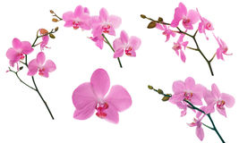 Set of pink orchids floral branches Royalty Free Stock Photography