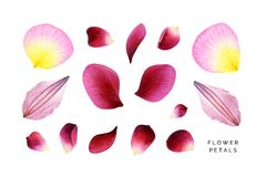 Set of pink petals. Rose, peony and clematis. Hand painted watercolor illustrations isolated on white. Realistic botanical art. nn Royalty Free Stock Photography