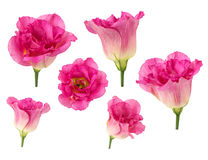 Set of pink rose flowers in different camera angles isolated on white background Stock Image