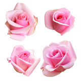 Set of pink rose isolated on white background Stock Photography