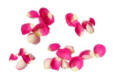 Set of pink rose petals. Isolated on white background. Top view. Flat lay royalty free stock images