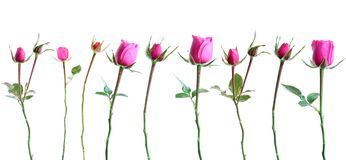 Set Pink Roses, Isolated. Stock Images
