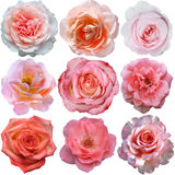 Set of pink roses   isolated Stock Images
