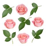 Set with pink roses and leaves. As design elements. Royalty Free Stock Photo