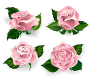 Set of pink roses Royalty Free Stock Photos