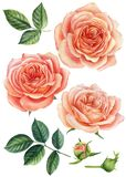 Set of pink roses. Watercolor botanical painting. Set of blooming flowers for your design. Watercolor illustration