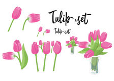 A set of pink tulip flowers in different variations  on white background. Vector Illustration. A set of pink tulip flowers in different variations  on white Stock Image