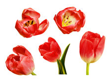 Set of pink tulip flowers Royalty Free Stock Photography