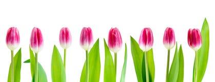 Set pink tulip isolated. On white background royalty free stock images