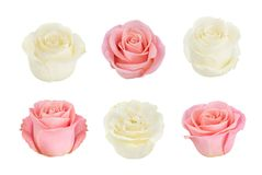 Set with pink and white roses. As design elements. Stock Photos