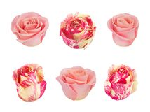 Set with pink and white roses. As design elements. Stock Photography
