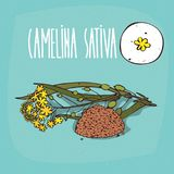 Set of  plant Camelina sativa flowers herb. With leaves, seeds, Simple round icon of False flax on white background, Lettering inscription Camelina sativa Royalty Free Stock Photography