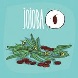Set of  plant Jojoba seeds herb Stock Image