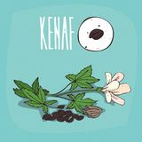 Set of  plant Kenaf seeds herb Stock Photography