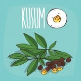Set of  plant Kusum seeds herb Stock Photography