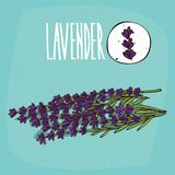Set of plant Lavender flowers herb. With leaves, Simple round icon of Lavandula on white background, Lettering inscription Lavender vector illustration