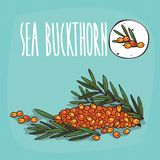 Set of  plant Sea buckthorn fruits herb Royalty Free Stock Photo
