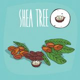 Set of plant Shea tree nuts herb. With leaves, Simple round icon of Vitellaria paradoxa on white background, Lettering inscription Shea tree stock illustration