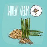 Set of  plant Wheat germ grains herb Royalty Free Stock Photo