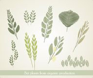 Set plants from organic production, vector Royalty Free Stock Images