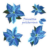 Set of Poinsettia flowers in blue color Royalty Free Stock Image