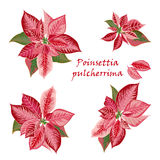 Set of Poinsettia flowers in pink, red color Royalty Free Stock Photos