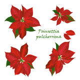 Set of Poinsettia flowers in red color Royalty Free Stock Photography