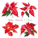 Set of Poinsettia flowers.Vector  illustration Stock Photography