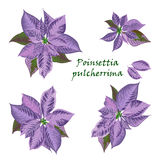 Set of Poinsettia flowers in violet color Royalty Free Stock Image