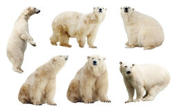Set of polar bears. Isolated over white stock images