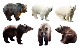 Set of polar and brown bears. Over white background Stock Photos