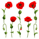 Set from poppies. Stock Photo
