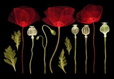 Set of poppy flowers