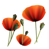 Set of Poppy green and red capsule on white background Stock Photography