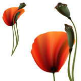 Set of Poppy green and red capsule on white background Stock Images