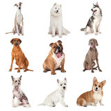Set pospolici psy Obrazy Royalty Free