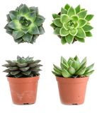 Set of pot plant Echeveria different types isolated on a white b. Ackground stock photography