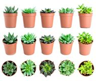 Set of pot plant Echeveria and other succulents in different types isolated on a white background royalty free stock photo