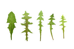Set pressed and dried dandelion leaves. royalty free stock images