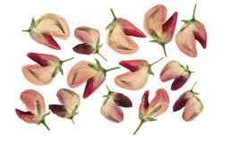 Set of pressed and dried flowers of  lupine isolated Stock Image
