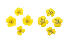 Set pressed and dried flowers meadow buttercup. Isolated. Stock Image