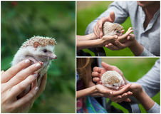 Set. prickly hedgehog in the hands of people Stock Photo