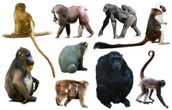 Set of primates. Many different monkeys and other primates isolated on white background stock image