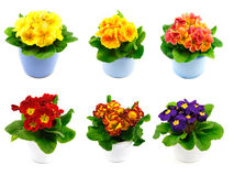 Set of primroses Stock Images