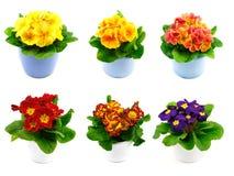 Set of primroses Stock Images